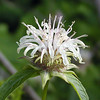 Basil Bee Balm along Cherohala Skyway<br /> Monarda clinopodia<br /> Lamiaceae<br /> Cherokee National Forest, TN 7/08