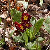 Pacific Hybrid Primrose growing at Hedgewood Gardens.<br /> This is another heirloom species.<br /> Blount County, TN 4/08