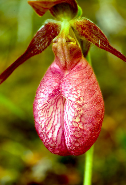 Pink Lady's Slipper (Orchid)