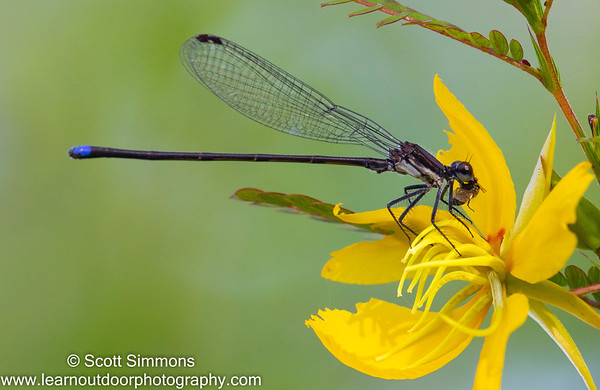 Blue-tipped Dancer on Partridge Pea