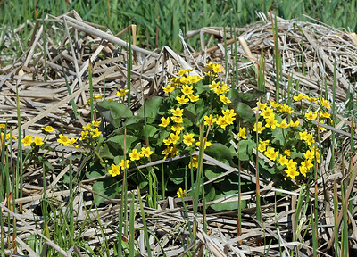And new life springs forth....  Marsh Marigold!  Have a blessed day!