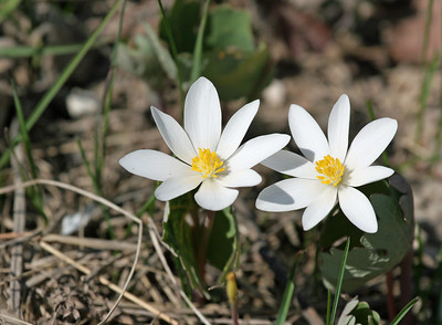 From the archives.....this is a wildflower called bloodroot.  Have a blessed day!