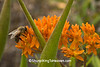Honeybee on Butterfly Weed, Sauk County, Wisconsin