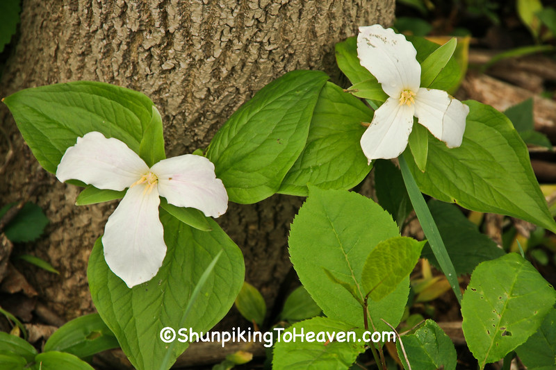 Great White Trillim, Leelanau County, Michigan