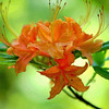 Flame Azalea, Wild Flower ( Bush ), East TN
