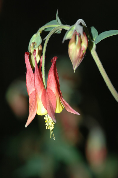 Wild Columbine, Eastern Wildflower, Tennessee