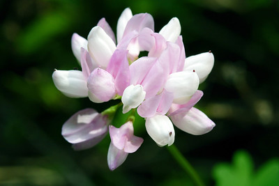 Crownvetch, Coronilla varia