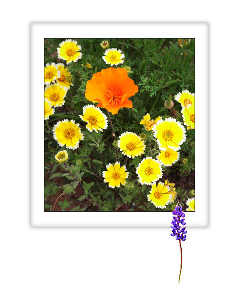 """CA Poppy and Tidy Tips, Redding, CA. This image is formatted to an 8"""" x 10"""" or 16"""" x 20"""" size, but cropping from white edges could yield different formats."""