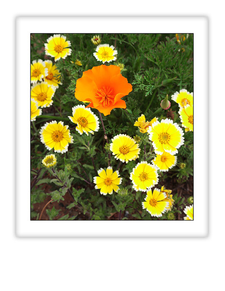 "California Poppy and Tidy tips in a field in Redding, CA. This image is pre-cropped to an 8 ½"" x 11"" format."