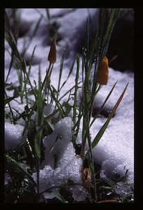 California poppies in the snow (Figueroa Mountain)