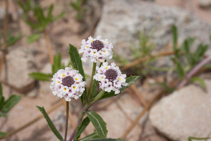 Springtime wildflower  in the Texas Panhandle.
