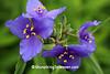 Spiderwort, Leopold Memorial Reserve, Sauk County, Wisconsin