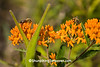 Honeybees on Butterfly Weed, Sauk County, Wisconsin