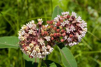 Common Milkweed, Asclepias syriaca, Vermont Wildflower Farm, Charlotte, Vermont.