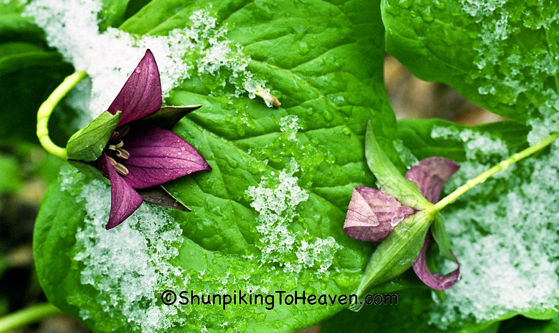 Snow on Red Trillium, Dane County, Wisconsin