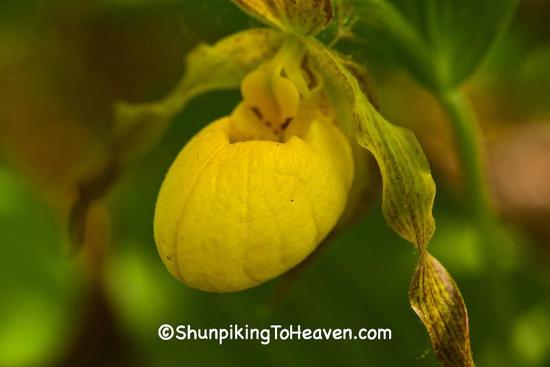 Yellow Lady's Slipper, Dane County, Wisconsin