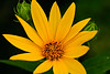 Woodland Sunflower, Dane County, Wisconsin