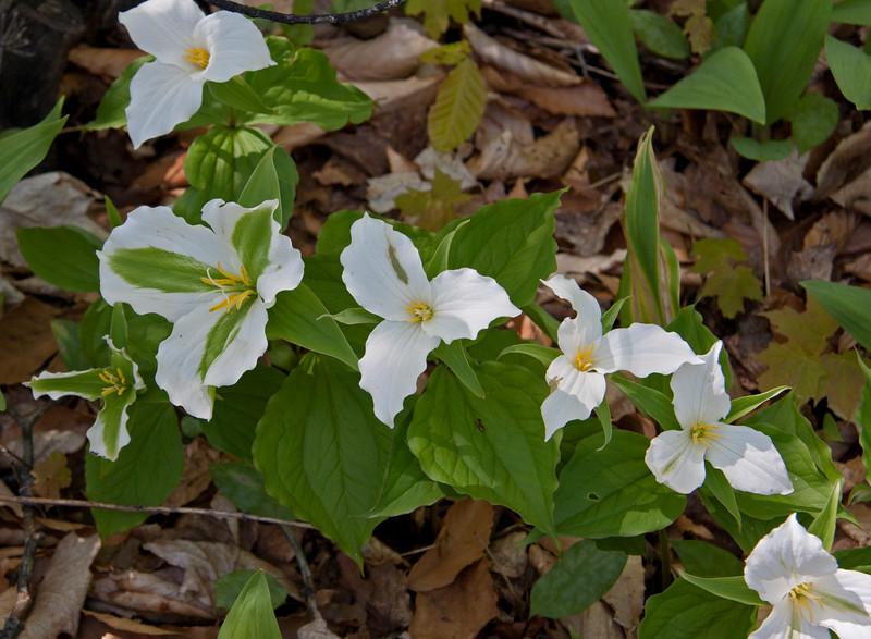 Spring Trilliums