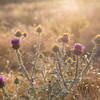 Thistles glowing in the evening light