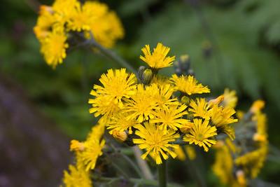 Yellow Hawkweed, Hieracium caespitosum