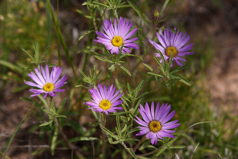 Texas Panhandle Wildflowers
