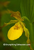 Yellow Lady's Slipper, Dane County, Wisconsin