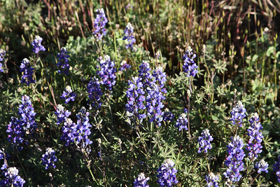 Lupine May 1, 2010