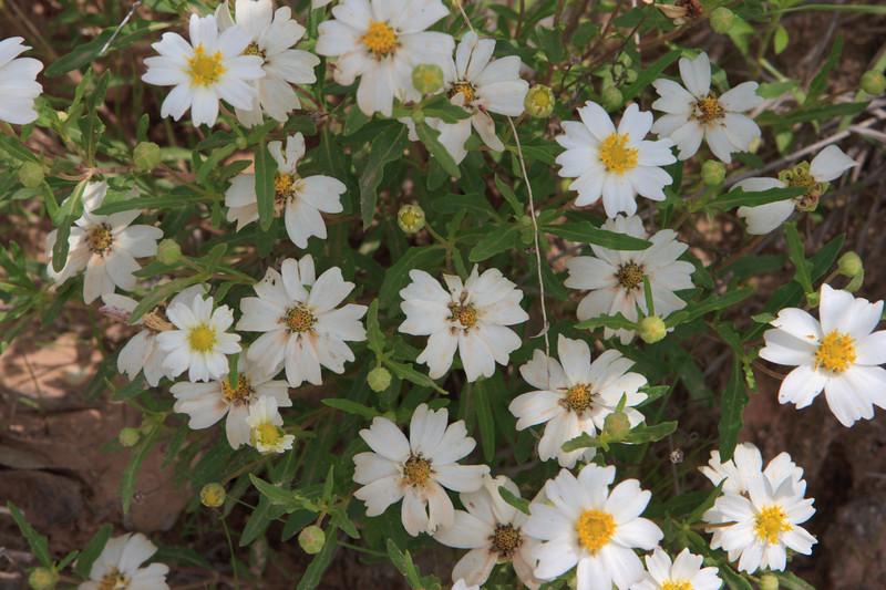 White pasture flowers