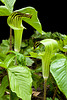 Jack-in-the-Pulpit, Dane County, Wisconsin