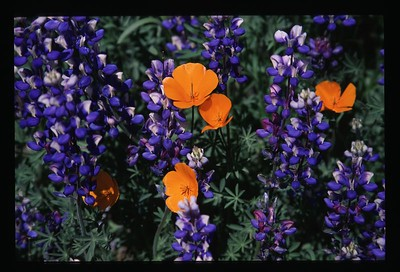 Lupin & California poppies