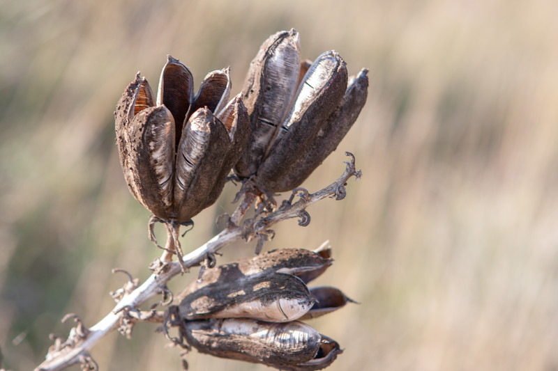 Dried yucca seed pods.