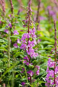 Fireweed, Chamerion augustifolium