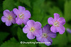 Wild Geraniums, Leopold Memorial Reserve, Sauk County, Wisconsin