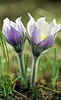 Pasqueflowers, Dane County, Wisconsin