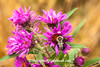 Bumblebee on Asters, Dane County, Wisconsin
