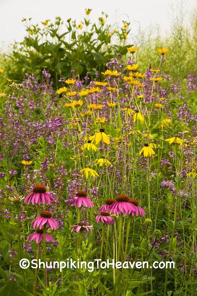 Summer Prairie with Purple and Prairie Coneflowers,  Dane County, Wisconsin