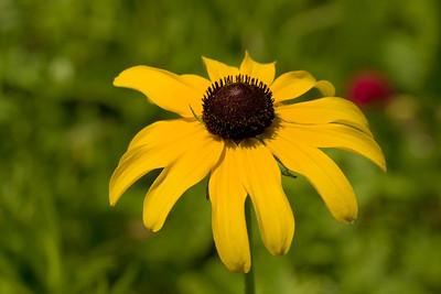 Black Eyed Susan, Rudbeckia hirta, Vermont Wildflower Farm, Charlotte, Vermont.