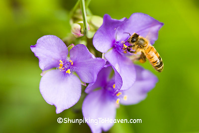 Honeybee on Spiderwort, Green County, Wisconsin