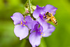 Honeybee on Spiderwort, Green County, Wisconsin