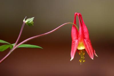 Eastern Red Columbine, Aquilegia canadensis #2
