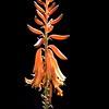 DSC_9262 w Aloe