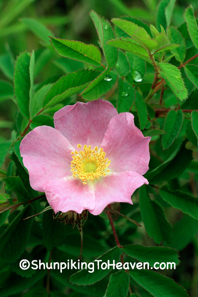 Prairie Rose, Leopold Memorial Reserve, Sauk County, Wisconsin
