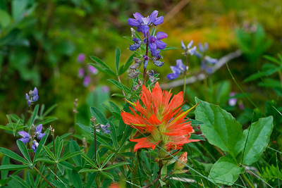 Scarlet Paintbrush and Broadleaf Lupine