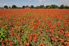 A Field of Red Corn Poppies