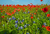 Red Corn Poppies with Texas BlueBonnets in the foreground.