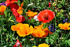 The red flowers are the Red Corn Poppy and the yellow ones are the California Poppy.