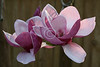 Japanese Magnolia ~ 'Black Tulip'<br /> <br /> March 20, 2010<br /> <br /> ~ Image by Martin McKenzie All Rights Reserved ~