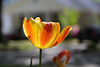"""Halley's Comet Tulip"" ~ April 6, 2011<br /> Image by Martin McKenzie<br /> All Rights Reserved"
