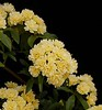 """Yellow Banksia"" or ""Lady Banks' Rose"" (Rosa banksiae)<br /> Images by Martin McKenzie<br /> All Rights Reserved"