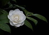 """Nuccio's Pearl"" ~ Camellia<br /> Images by Martin McKenzie<br /> All Rights Reserved"